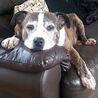 Ross, 15 year-old Staffy-Boxer cross